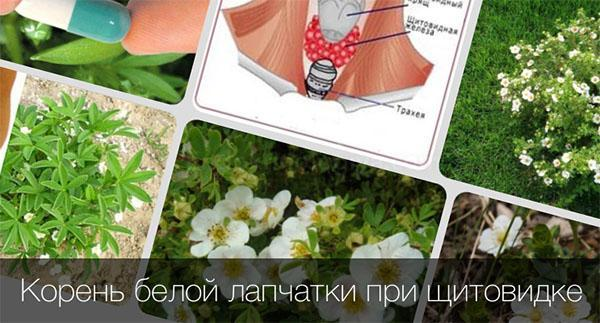 лапчатка белая для щитовидки