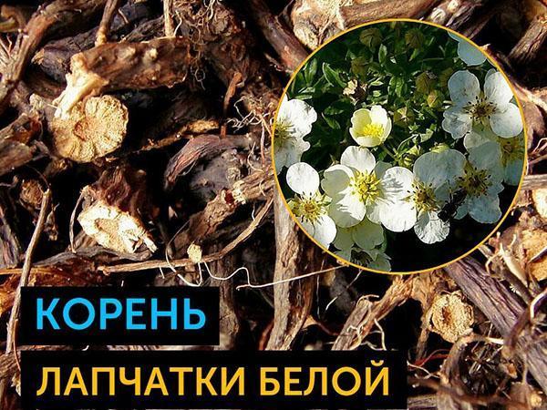 полезные корни лапчатки белой