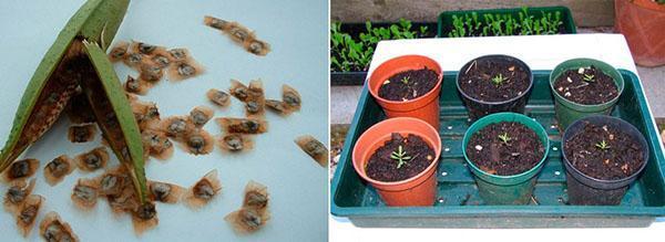 посев семян кампсиса