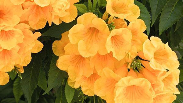 яркое цветение кампсиса