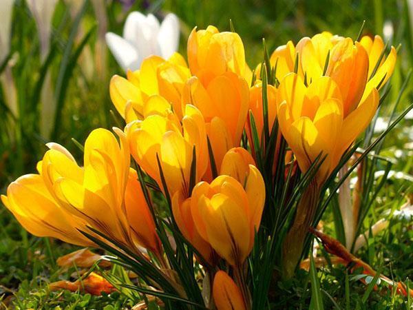 яркое цветение крокусов