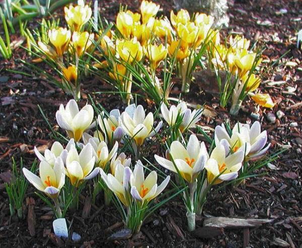 желтые и белые крокусы