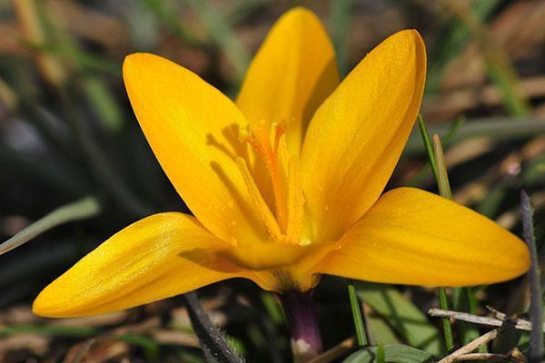 крокус золотистого цвета