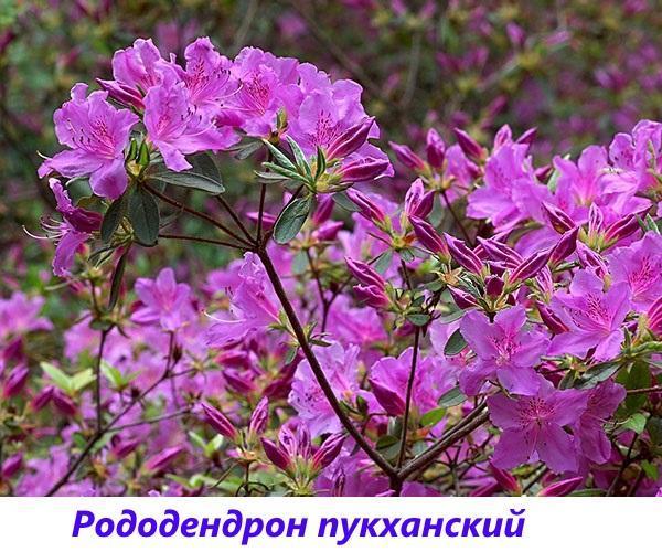 рододендрон Пукханский
