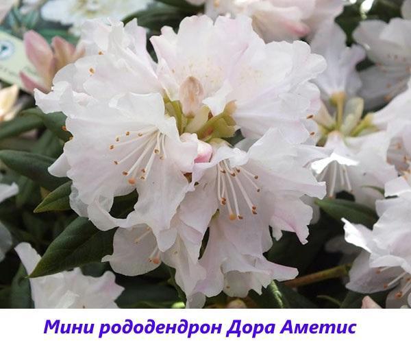 мини рододендрон Дора Аметис