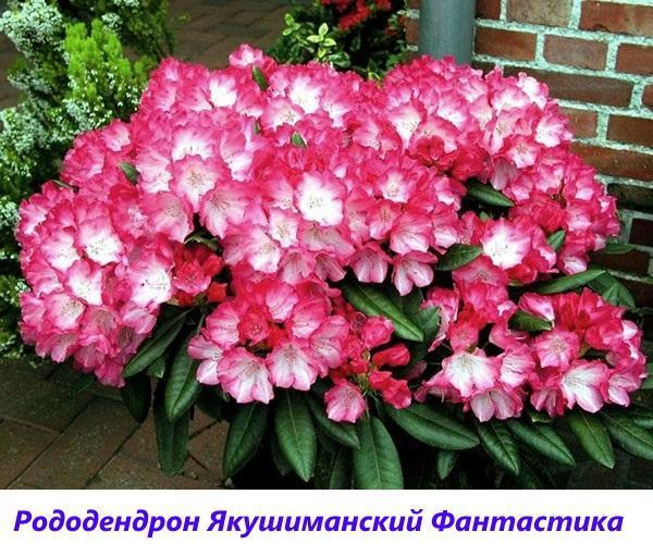 рододендрон Якушиманский Фантастика