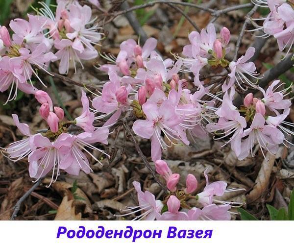 рододендрон Вазея