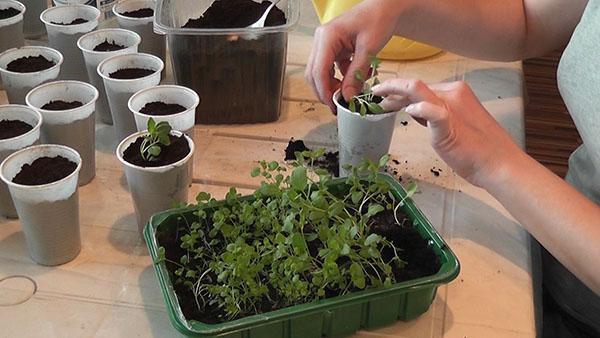 выращивание душицы из семян