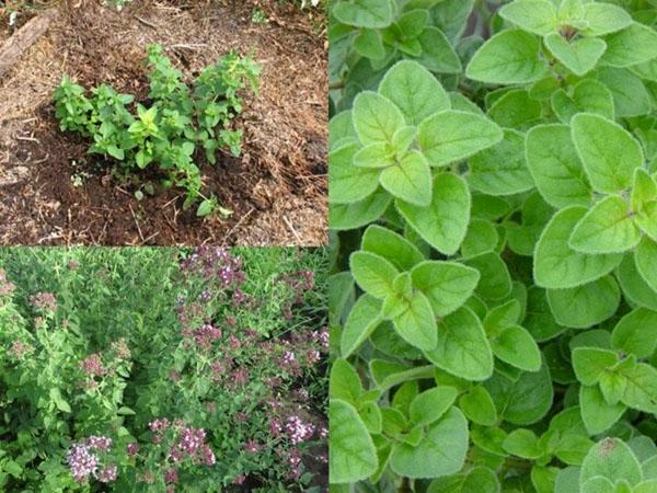 выращивание душицы в открытом грунте