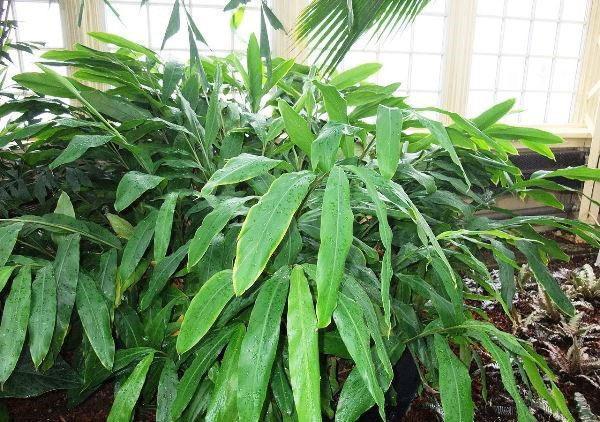 выращивание кардамона в домашних условиях