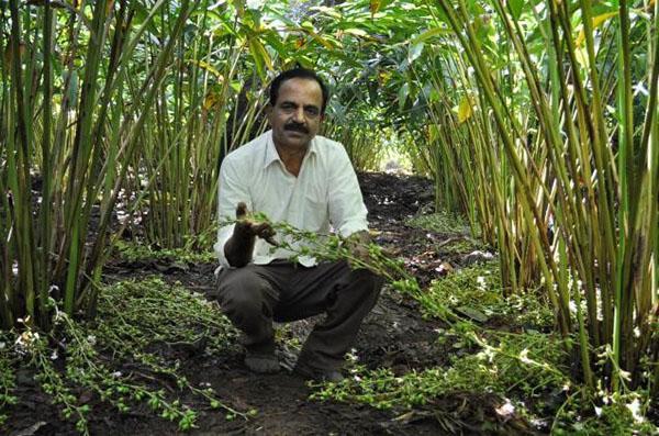 плантация кардамона