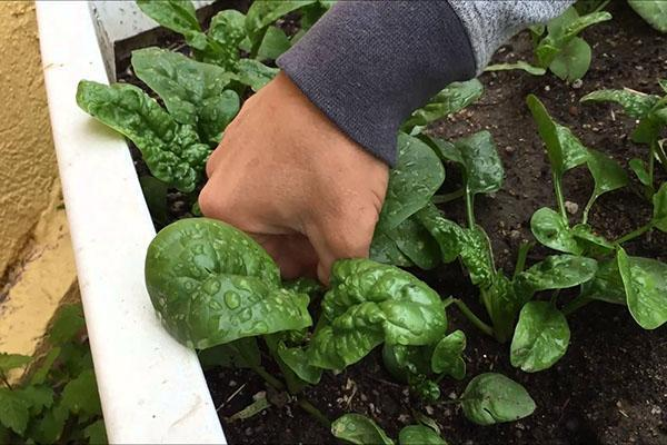 сбор первого урожая