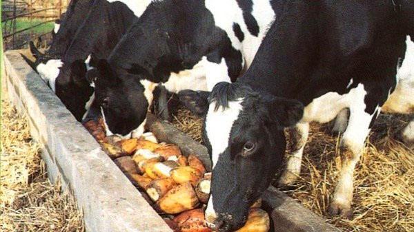 кормление коров турнепсом