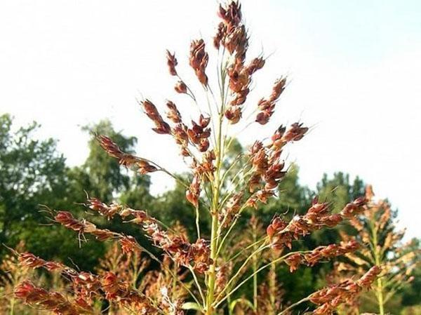 выращивание сорго веничного