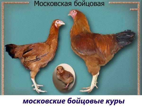 московская бойцовая