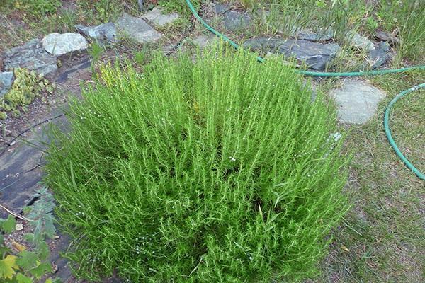 кустик перечной травы