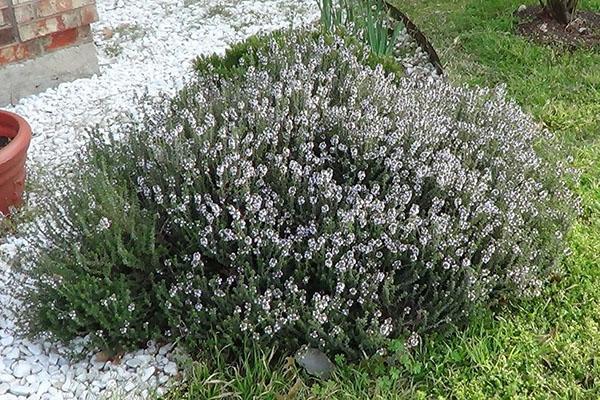 выращивание чабера в саду