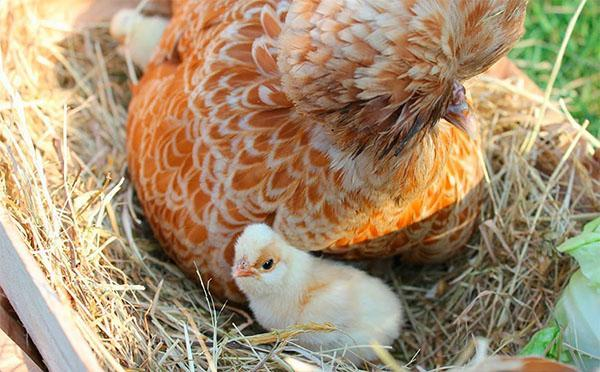 курица падуан с цыплятами