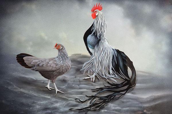 китайские куры феникс