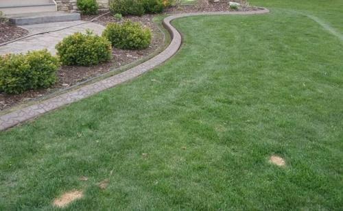 газон из овсяницы