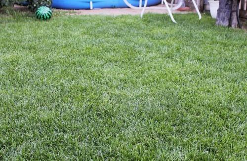 газон из мятлика