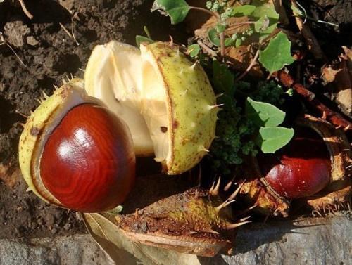 плоды каштана
