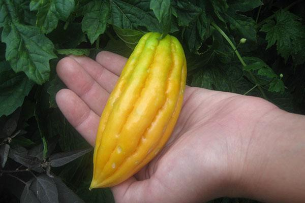 плоды момордики