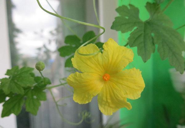 цветет момордика