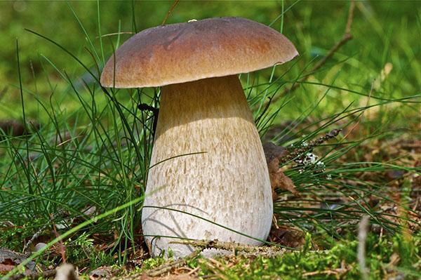 полезные свойства белых грибов
