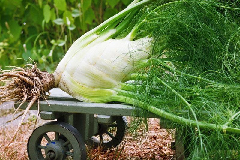 Выращивание фенхеля- как и когда сажать, уход в открытом грунте, полезные свойства