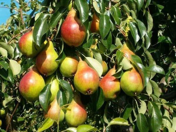 ароматные и полезные плоды