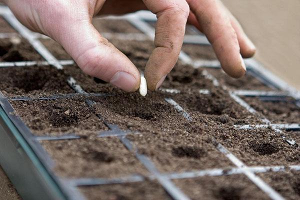 посев семян эхинацеи на рассаду