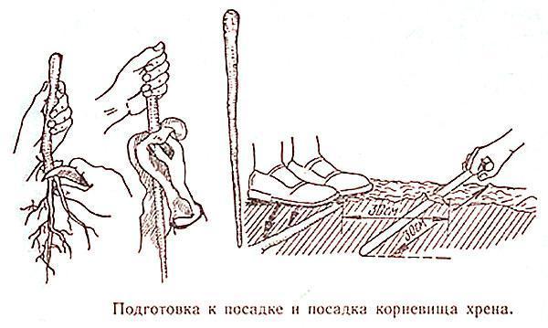 посадка черенков хрена