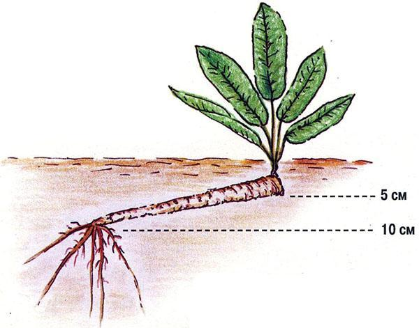 растет хрен из черенка