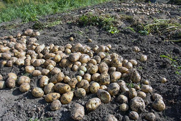 после картофеля можно садить хрен
