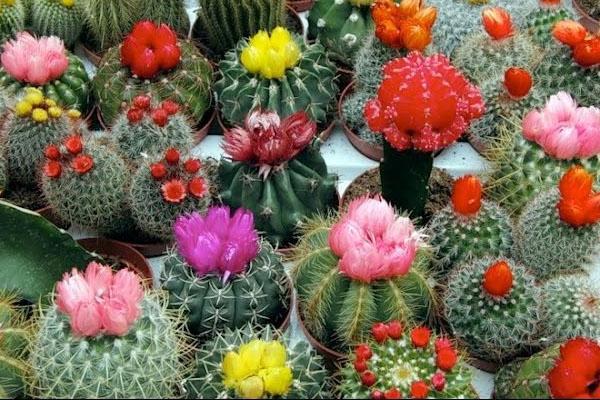 успешное выращивание кактусов из семян
