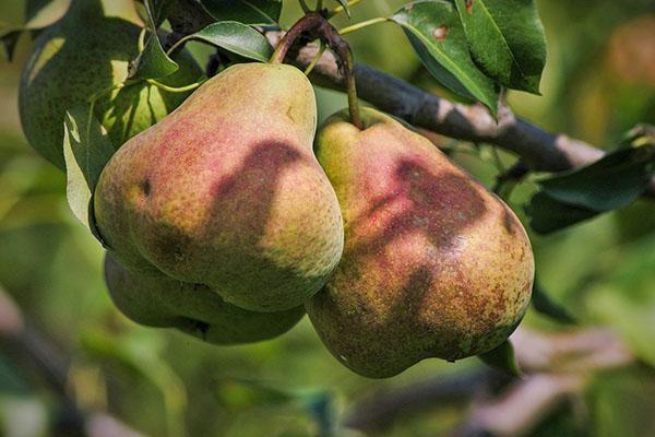 пирамидальная форма плодов