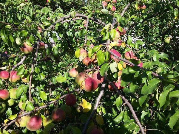 обильный урожай груши Елена