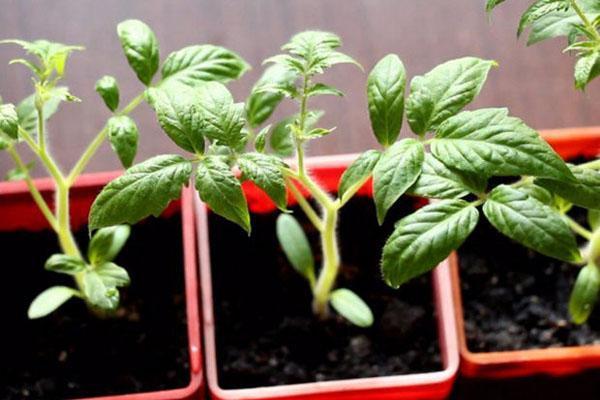 выращивание рассады томата Батяня
