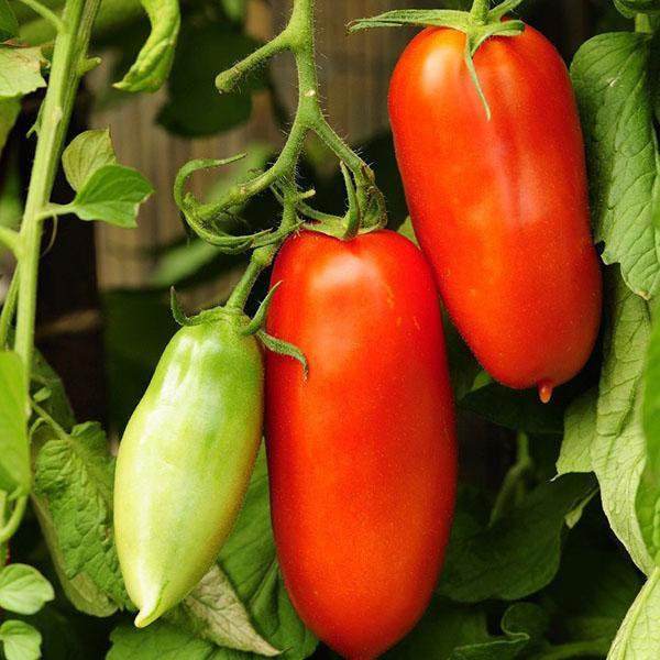 томат перцевидный красный
