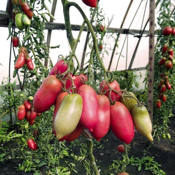 помидор перцевидный розовый