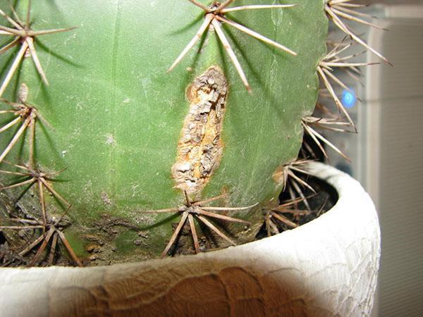поврежденный кактус