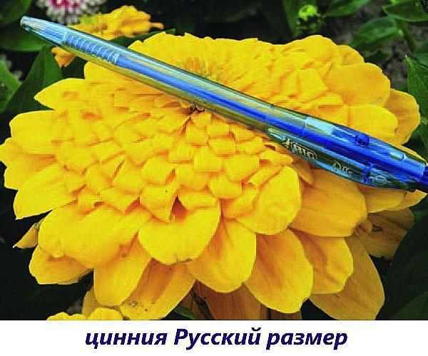 циния русский размер