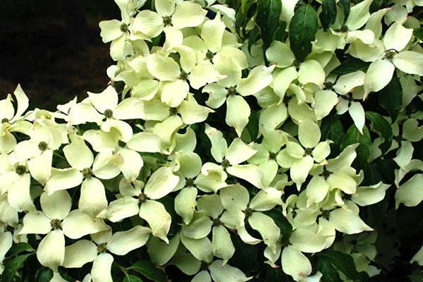 цветет Коуза