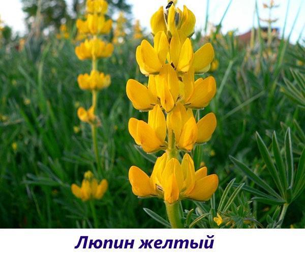 люпин желтый