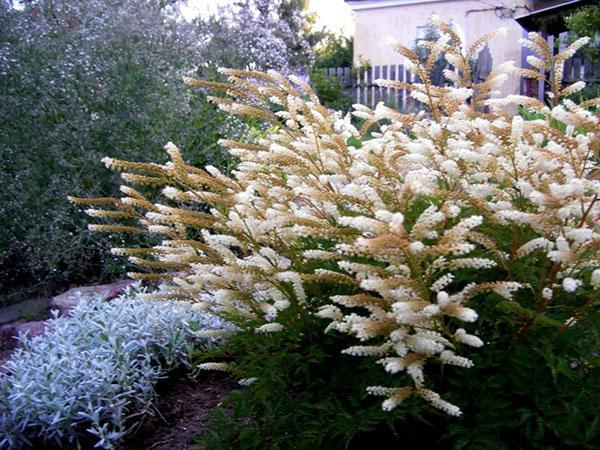пышное цветение арункуса