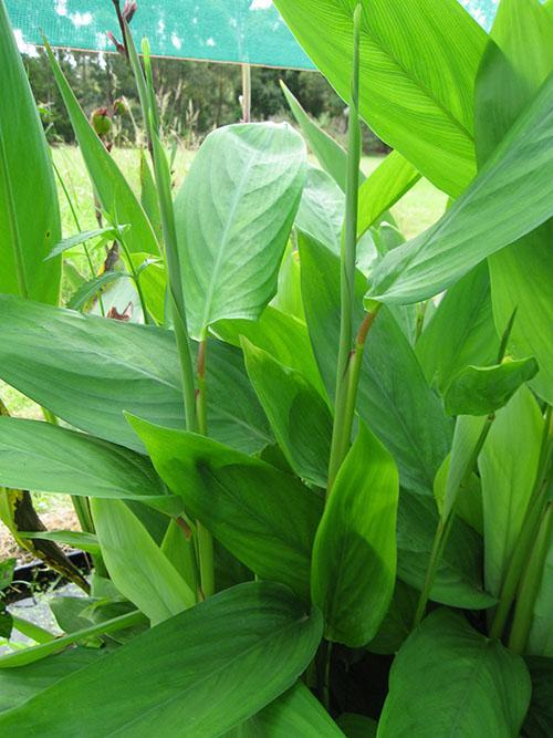 маранта тростниковая с однотонными листьями