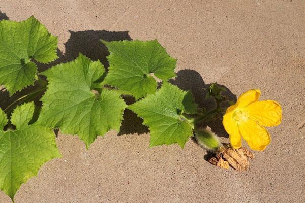 цветет тыква бенинказа