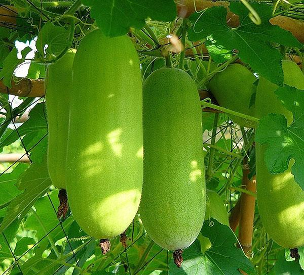 плоды тыквы бенинказа