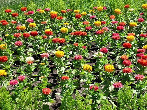 выращивание цинии
